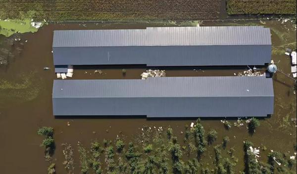 邯鄲一養殖場慘遭水災痛失萬余種雞